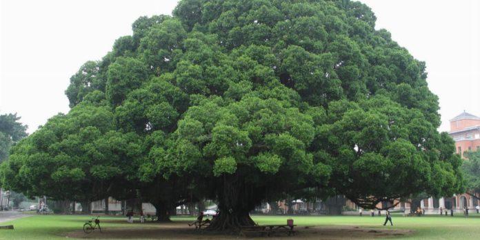 Sorpresa verde in Campania, ci sono 89 «alberi monumentali»
