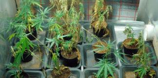 serra marijuana cannabis