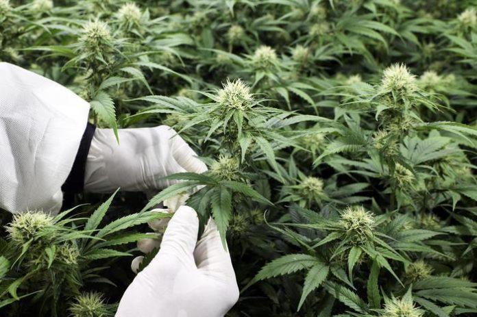 piante cannabis